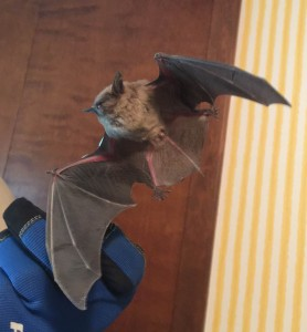 Bat removal service is a job for experts