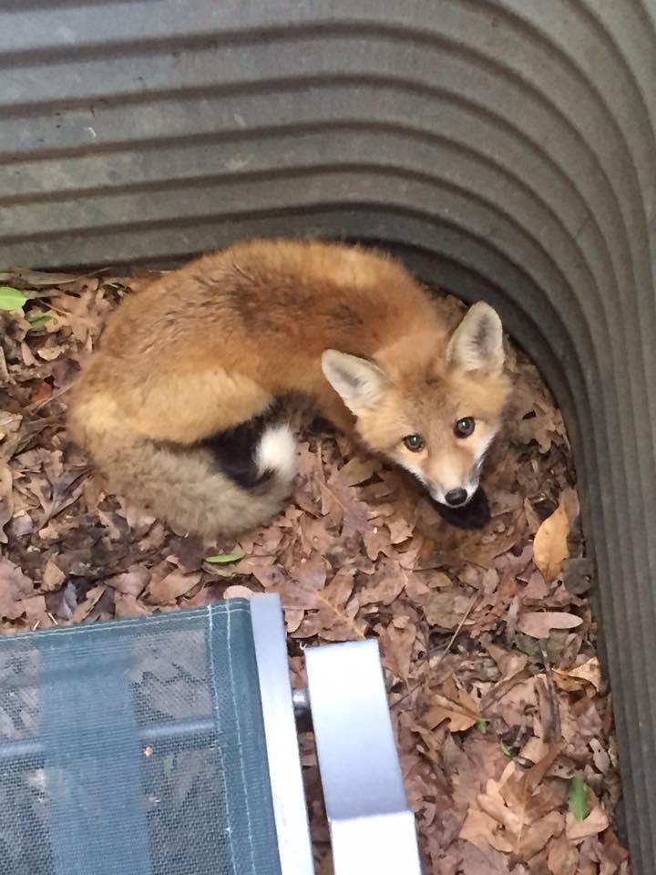 Fox Removal Get Rid Of Fox Fox Control