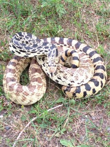 Bull Snakes are common in Minnesota.